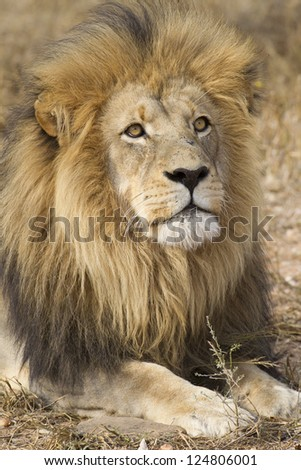 Male African Lion (Panthera leo) portrait, South Africa