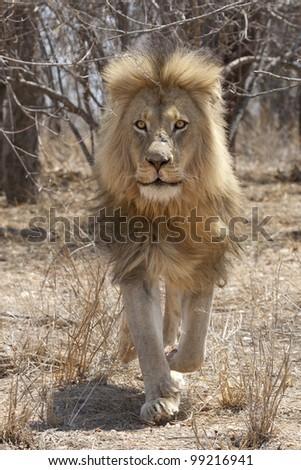 Male African Lion (Panthera leo) running - stock photo