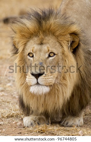 Male African Lion portrait (Panthera leo), South Africa - stock photo