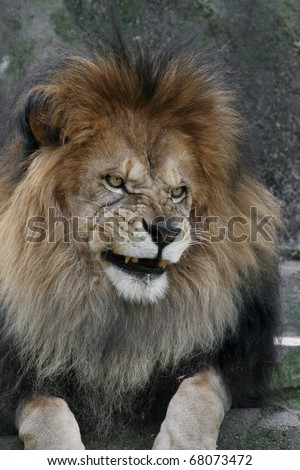 Male African Lion with an evil look on his face