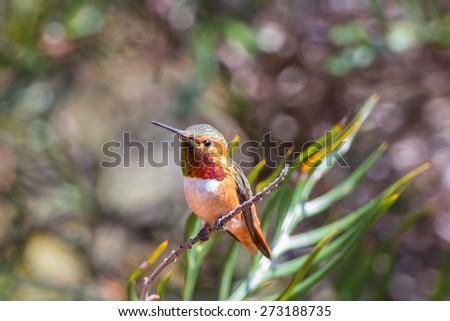 Male Allen's Hummingbird  - stock photo