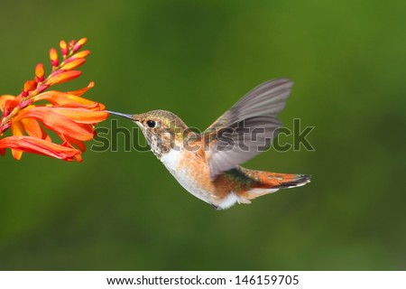 Male Allens Hummingbird (Selasphorus sasin) in flight at a flower with a green background - stock photo