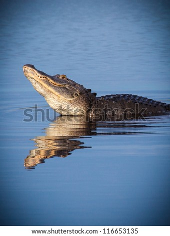 Male alligator raises head to bellow for a female during mating season - stock photo