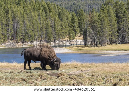 Male American bison (Bison bison) grazing near theYellowstone River, Yellowstone National Park, Wyoming, USA.