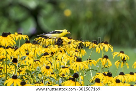 Male American Goldfinch perched on Rudbeckia eating seedheads. - stock photo