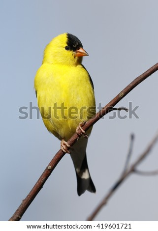 Male American Goldfinch (Spinus tristis) perched against a blue sky - Ontario, Canada - stock photo