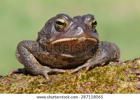 Male American Toad (Bufo americanus) with a green background - stock photo