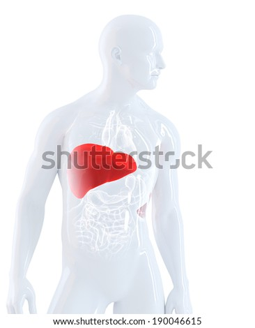 Male anatomy focused on liver. Isolated, contains clipping path - stock photo