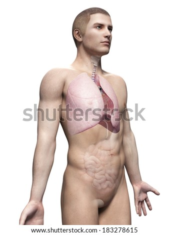 male anatomy illustration - the lung - stock photo