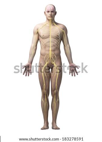 male anatomy illustration - the nerves - stock photo
