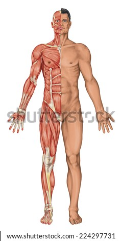 Male anatomy, man's anatomical body, human muscular system, surface anatomy, body shapes, anterior view, full body