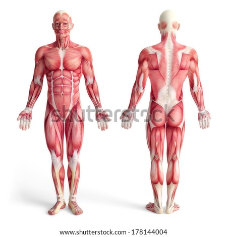 male anatomy muscular system front back stock illustration, Muscles