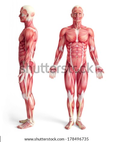 male anatomy of muscular system - front and side view - stock photo