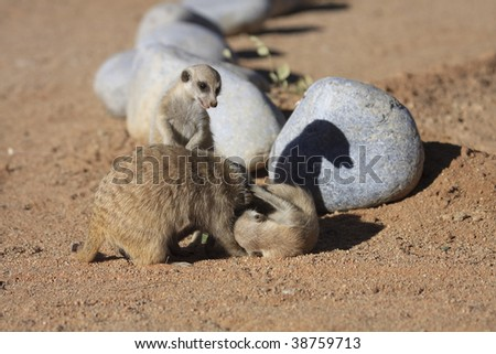 male and baby Meercats mammals at  Solitaire Guest farm and desert ranch Namibia - stock photo