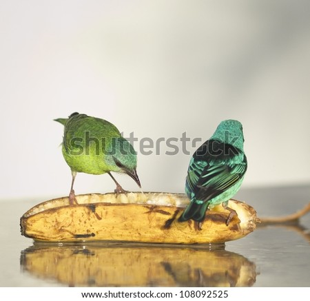 Male and Female Blue Dacnis eating banana. Two colorful green and blue birds. - stock photo