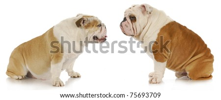 male and female dogs - english bulldogs sitting looking at each other on white background - stock photo