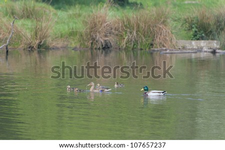 Male and Female Ducks Swimming with their Signets
