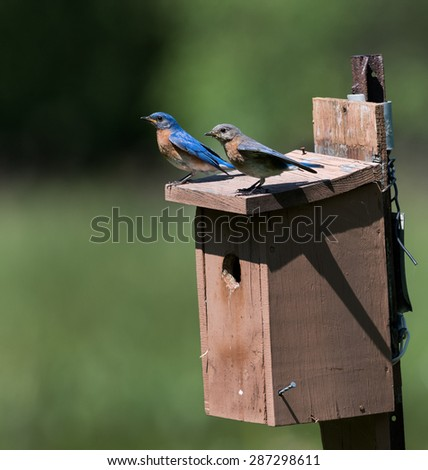 Male and Female Eastern Bluebirds Perched on a Nest Box on Green Background - stock photo