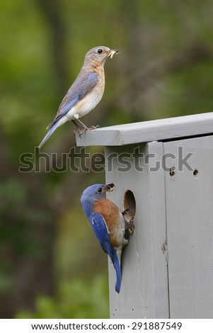 Male and Female Eastern Bluebirds (Sialia sialis) at Nestbox with Insects in their Beaks - Ontario, Canada - stock photo