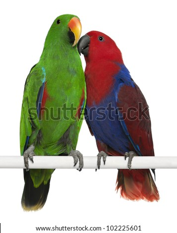 Male and Female Eclectus Parrots, Eclectus roratus, perching in front of white background - stock photo
