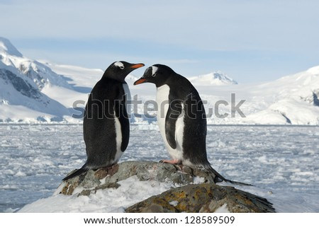 Male and female Gentoo penguins on the slope at the future site of the nest. - stock photo