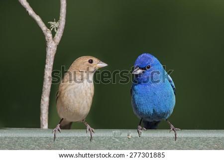 Male and Female Indigo Buntings on Feeder - stock photo