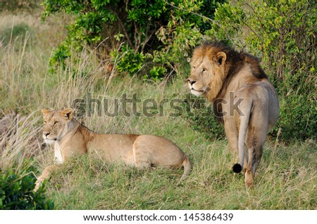 Male and female lion pair lying in green grass,  Masai Mara, Kenya - stock photo