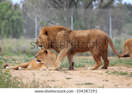 Male and female lions - stock photo