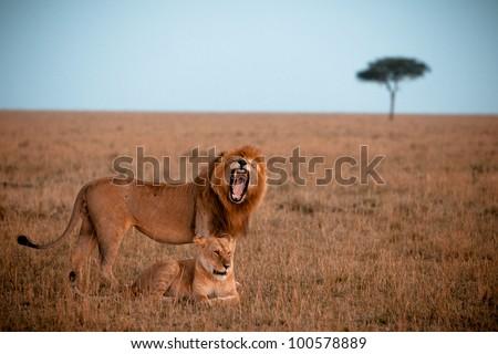 Male and female lions, Masai Mara - stock photo