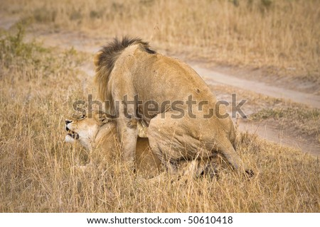 Male and female lions mating in the wild. - stock photo