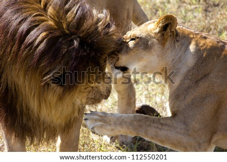 male and female lions muzzling each other