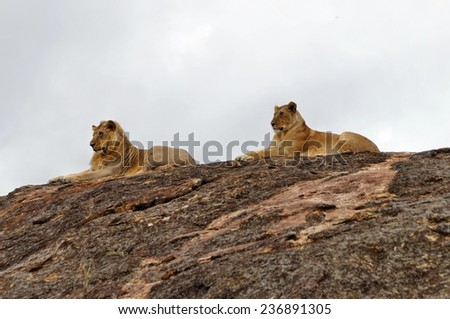 Male and female lions resting on big rock at Maasai Mara National Park, Kenya - stock photo