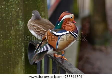 Male And Female Mandarin Duck