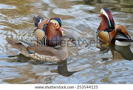 Male and female mandarin duck swimming together - stock photo