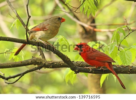Male and female northern cardinal, Cardinalis cardinalis, perched on a tree branch - stock photo