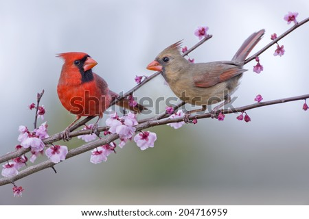 Male and Female Northern Cardinals in Plum Tree - stock photo