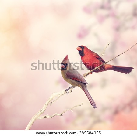 Male and Female Northern Cardinals Perching  - stock photo