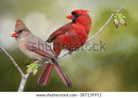 Male and Female Northern Cardinals Sharing a Branch - stock photo