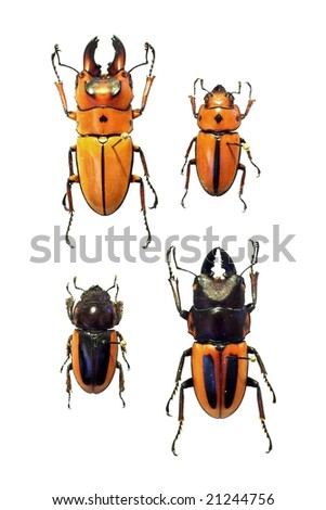 Male and female of Homoderus gladiator and Homoderus melleyi - stock photo