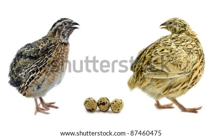 Male and female of quail with eggs isolated on white background - stock photo