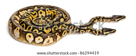 Male and female Pastel calico Royal Python, ball python, Python regius, in front of white background - stock photo