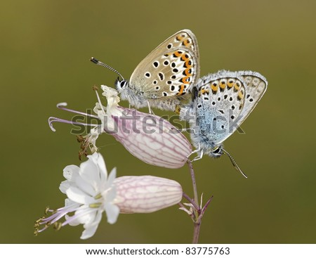 Male and Female Plebejus argus butterflies (Silver Studded Blue) melted together on Silene vulgaris