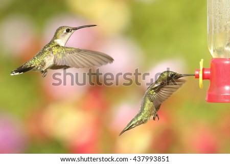 Male and female Ruby-throated Hummingbirds (archilochus colubris) in flight at a feeder with a colorful background - stock photo