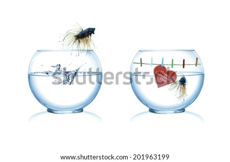 male and female siamese fighting fish in love - stock photo