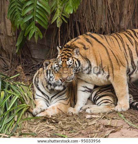 male and female tiger in a romantic pose , in love moment
