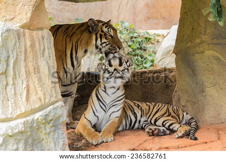 male and female tiger in a romantic pose , in their natural habi - stock photo
