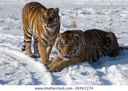 Male and female tiger pair in the snow. - stock photo