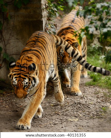 Male and female tigers walking in single file