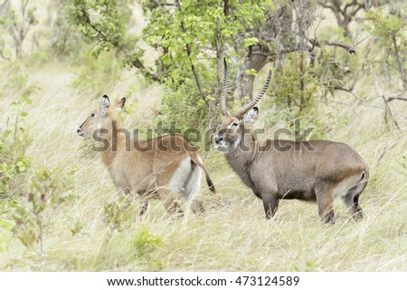 Male and female Waterbucks (Kobus ellipsiprymnus defassa) in courtship, Akagera National Park, Rwanda