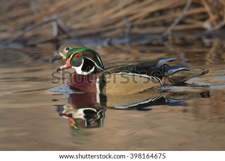 Male and female Wood Duck in a pond - stock photo